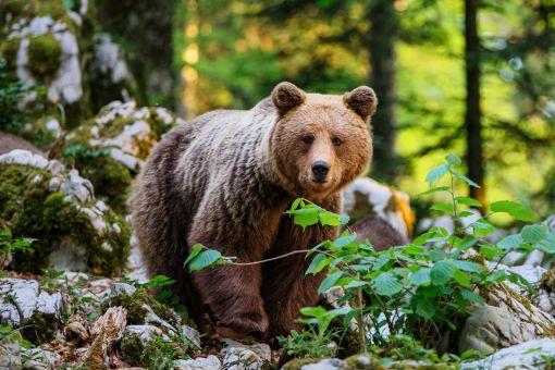Bear in Notranjska region