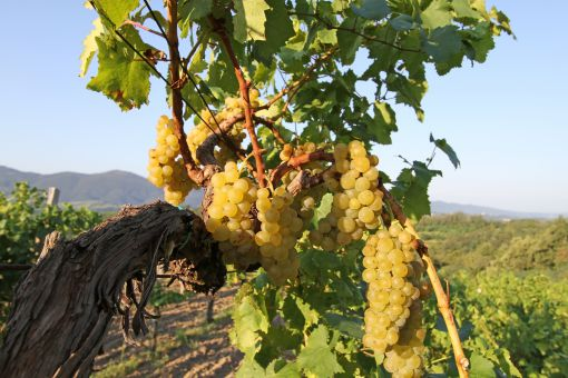 Grapes in Vipava valley